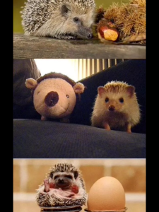 Did You Know: Hedgehogs